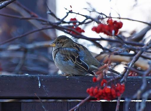 Olympus E520 -- some pros and cons-sparrow10.jpg