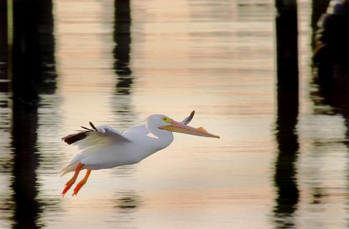 White Pelicans-white-pelican-landing_640.jpg