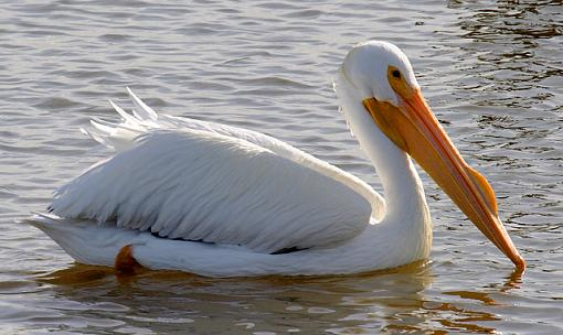 White Pelicans-white-swimming_ps_fb-640.jpg