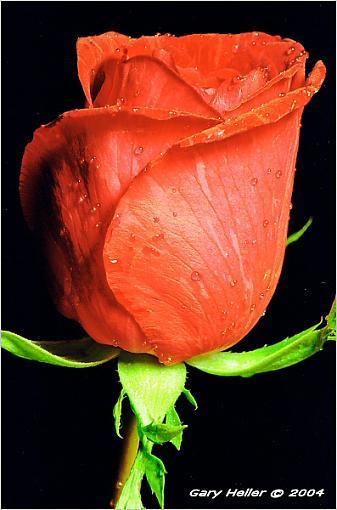 A single Rose . .-flowers0304-2002xweb.jpg