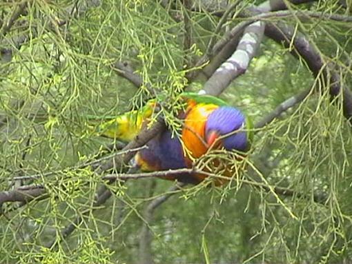 Hawk and birds-rainbow-lorikeet.jpg
