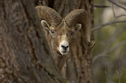 yellowstone wildlife-big-horn-hello.jpg