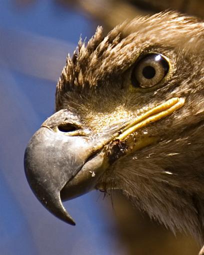 yellowstone wildlife-eagle-close-up.jpg