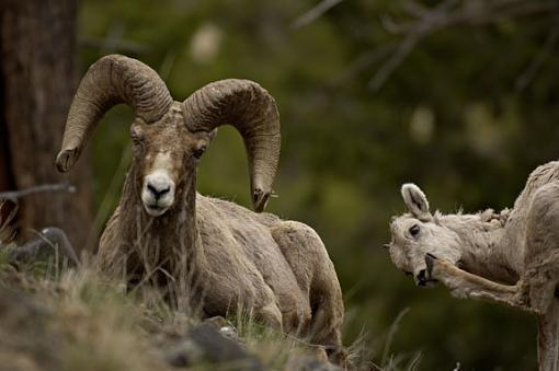 yellowstone wildlife-bighorn-his-girl.jpg
