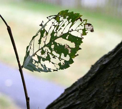Holey leaf & curly leaf-holey-leaf.jpg