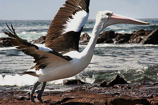 Pelican-pelicansm.jpg