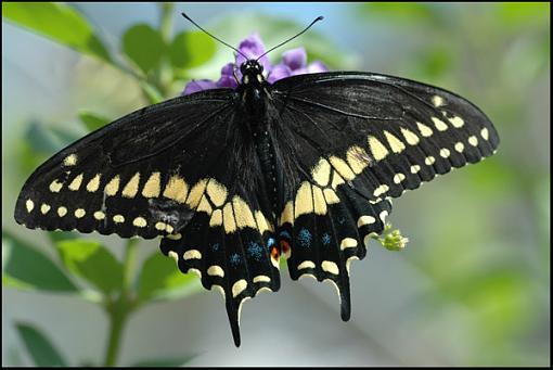 D70 Macro-palamedes_swallowtail.jpg