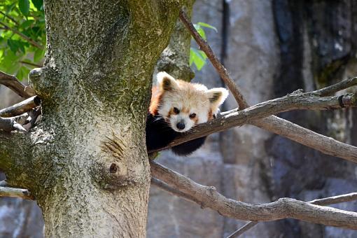Red Panda-dsc_0026_2.jpg