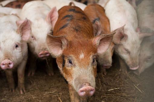 Piglets-piglets-2.jpg