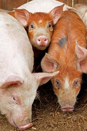 Piglets-piglets-crop.jpg