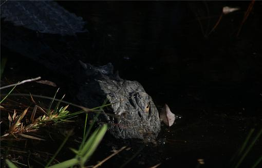 Gators of the Okefenokee Swamp-babygator.jpg