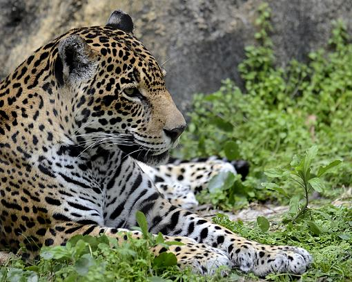 Predator and (potential) Prey-jaguar.jpg