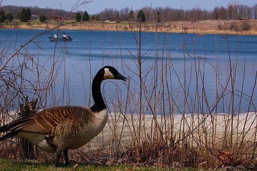 Goose-goose.jpg