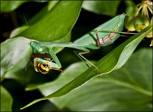 Let Us Prey-mantis-wasp2.jpg