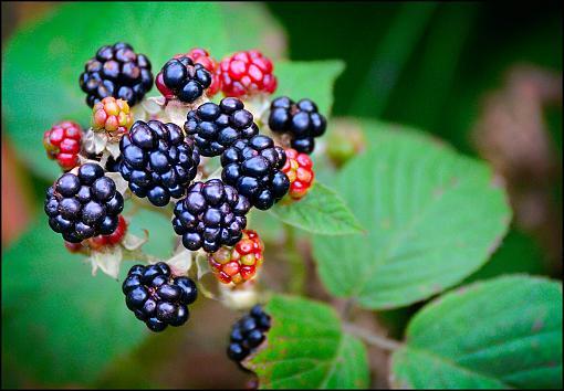 The Taste Of Summer-blackberries2.jpg