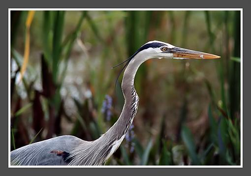 Blue Heron in Florida-blue-heron-600.jpg