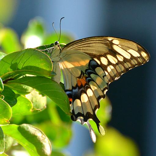 Some Nikon 70-300mm CX Shots-wildlife-living-color-6-swallowtail.jpg