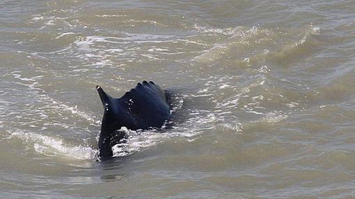 Humpback whale escapes the crocodile river in Australia.-_114361848_12657200-3x2-xlarge.jpg