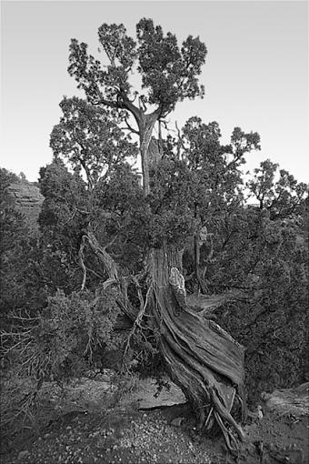 Updated Picture of tree from Garden of the Gods Co. Springs-img_1671_800_bw.jpg