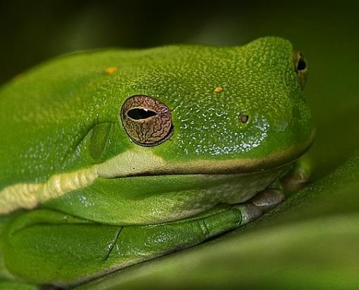 Frog Face-tree-frog-2_ps_tight_fb.jpg