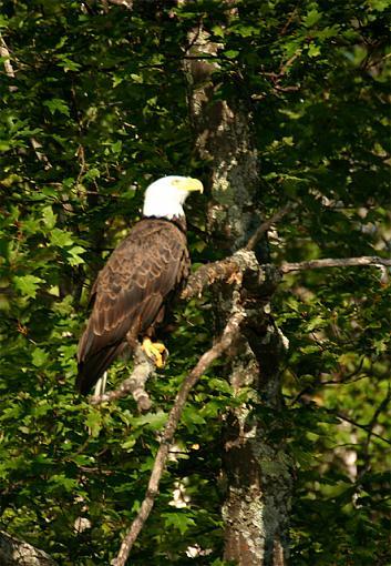 Print worthy?-eagle-perched.jpg