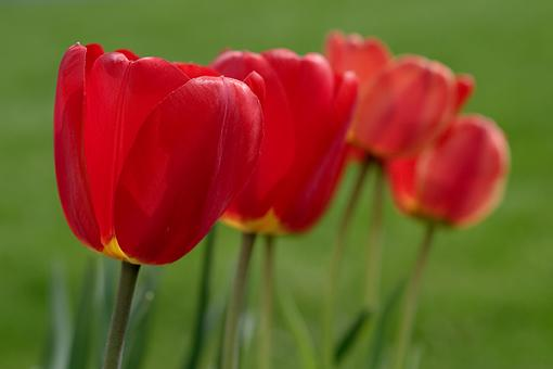April Photo Project: RED-tulips-1-04-19-06.jpg