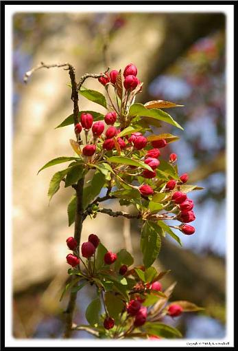 May Project: Life-redbuds1.jpg