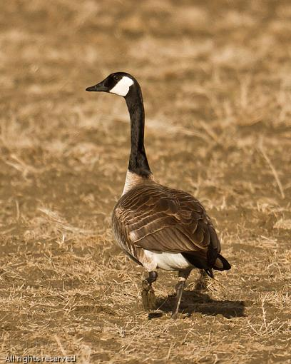 March Project, Perhaps?-20110311_canadagoose_7039-sm.jpg