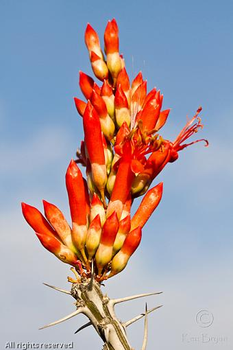 Call for May-20110409_azcactusblossom_7726-2.jpg
