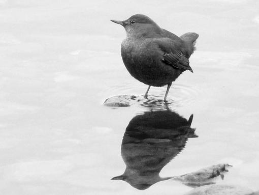 January 2012 Project - B&W Photography-dipper.jpg