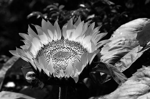 January 2012 Project - B&W Photography-sunflower1.jpg