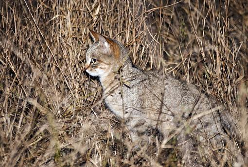 How sweet is the 70-300mm G-african-wild-cat-krgr-11-dsc07535r.jpg