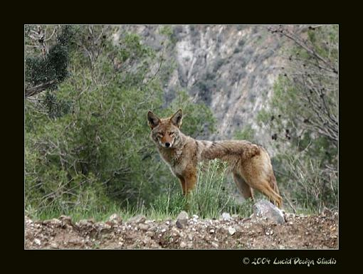 A few from today-coyote.jpg