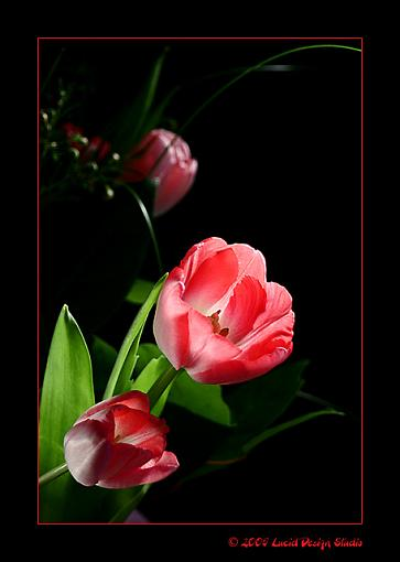 To the forum...Happy V-Day everyone!-tulips1.jpg