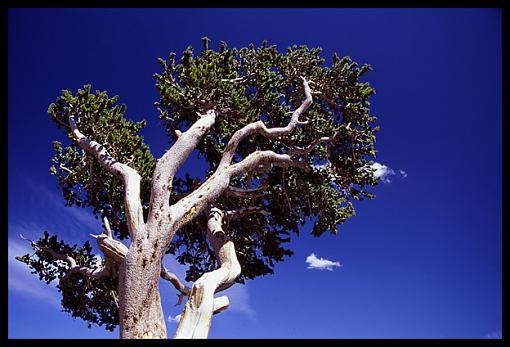 Tree Pics?-bristlecone-pine.jpg