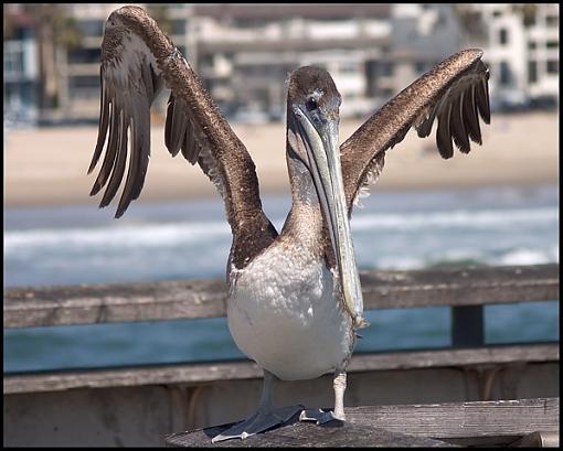 Funny Animals!!!-pelicancrw_4165.jpg