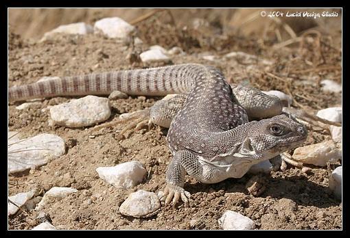 desert life-lizard.jpg