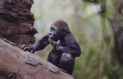 Official NYC Gathering Photos-baby-gorilla.jpg
