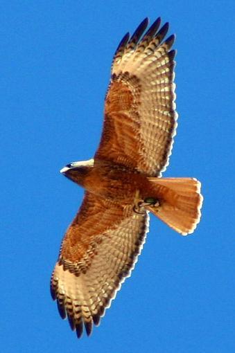Unidentified Flying Object... any bird watchers here?-bigbirdy.jpg