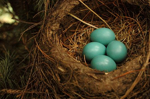 Post Your Bird Images Here!!!!!!!-comes-first-egg.jpg