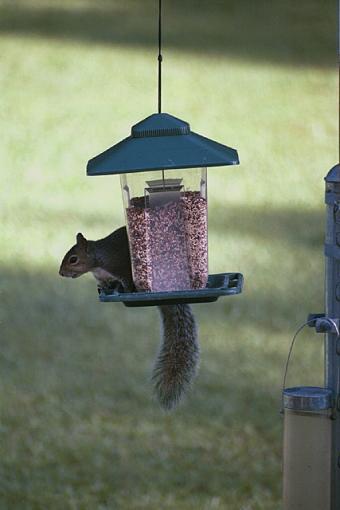 Post Your Bird Images Here!!!!!!!-bushytail-grayback-pr.jpg