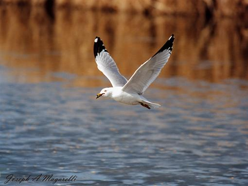 Post Your Bird Images Here!!!!!!!-gull-flight-600.jpg