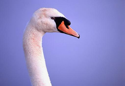 Post Your Bird Images Here!!!!!!!-mute-swan.jpg