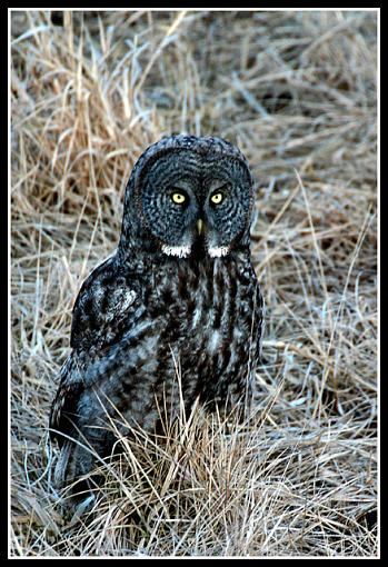 Post Your Bird Images Here!!!!!!!-3665-owl.jpg