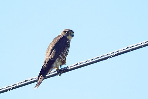 Post Your Bird Images Here!!!!!!!-merlin.wire.high-island-tx600.jpg