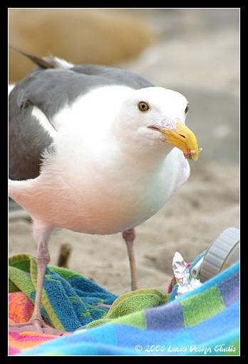 Post Your Bird Images Here!!!!!!!-seagull.jpg