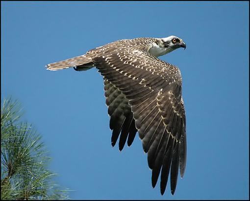 Post Your Bird Images Here!!!!!!!-osprey_16_filtered.jpg
