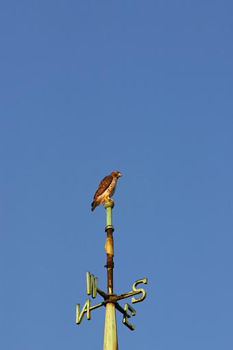 Post Your Bird Images Here!!!!!!!-hawkpole1int.jpg