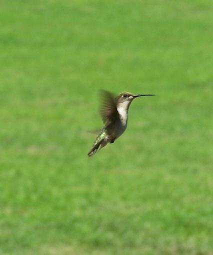 Post Your Bird Images Here!!!!!!!-hbird2.jpg