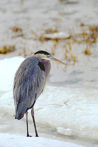 Post Your Bird Images Here!!!!!!!-gbh.jpg